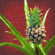 Anti snurk plant