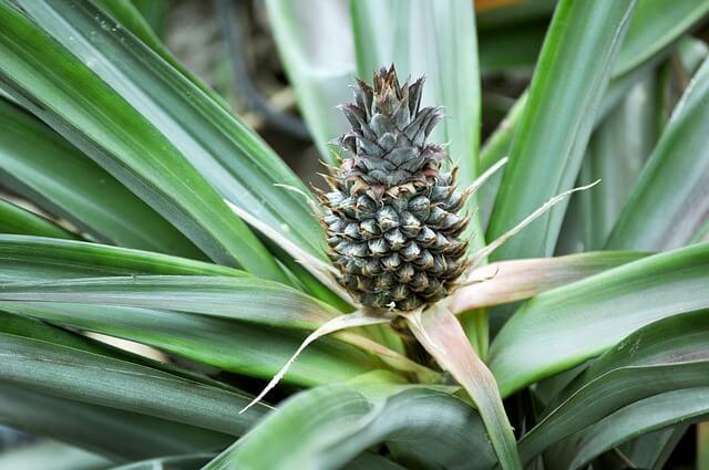 Anti snurk plant - bromelia ananas