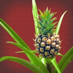 Snurken voorkomen ananasplant